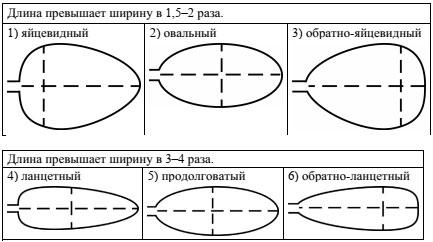Тип листа по соотношению длины, ширины и расположению наиболее широкой части
