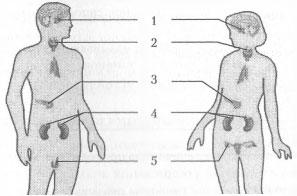 Эндокринная система 3 вариант