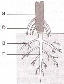 главный корень
