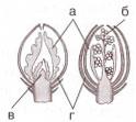 почечные чешуи