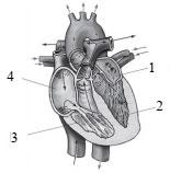 Схема строения сердца человека