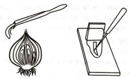Опыт с луком