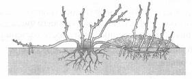 Процесс вегетативного размножения