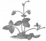 Процесс вегетативного размножения земляники
