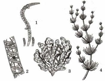 Зеленая нитчатая водоросль
