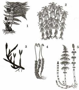 Представители высших споровых растений